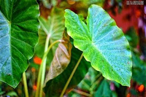 dunia flora bangun  bentuk daun