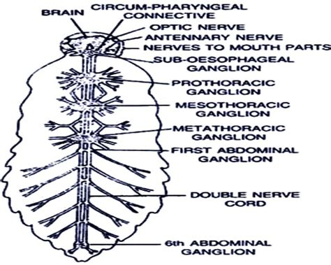 Nervous System Of Cockroach