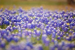Bluebonnet Season Came Early In Texas This Spring