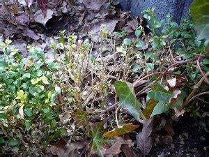 spritzmittel gegen buchsbaumpilz kf dem buchsbaumpilz im bauerngarten heimwerker aktuell de