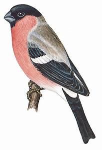 Vogel Mit Roter Brust : duden gim pel rechtschreibung bedeutung definition synonyme ~ Eleganceandgraceweddings.com Haus und Dekorationen