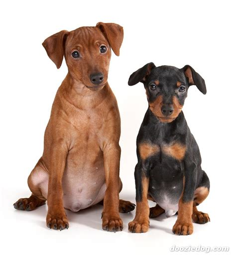 german pinscher dog funny puppy dog pictures
