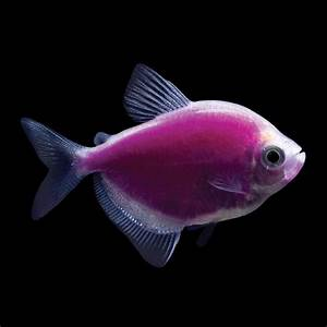 70 best images about GloFish on Pinterest | Glow, Neon and ...