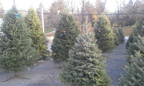 beautiful christmas trees for sale conestoga stone