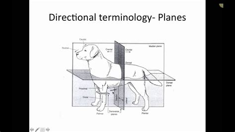 skeletal anatomy  dogs  cats part