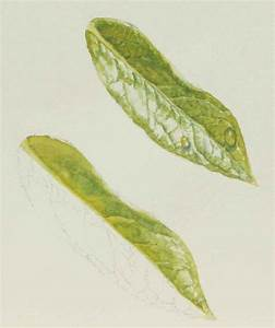 How to paint leaves? Demonstration in watercolor by Susan ...