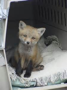 Baby Red Foxes as Pets