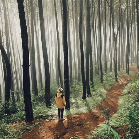menilik pesona ribuan pinus  hutan pinus imogiri