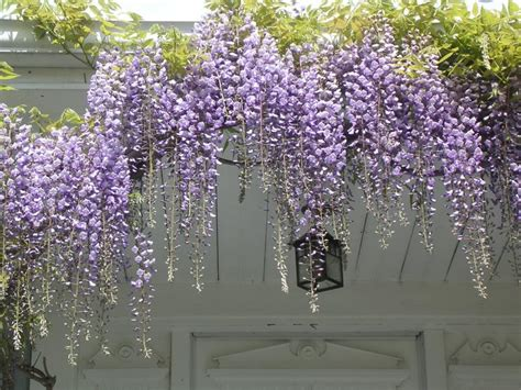flowering climbing vines dream home with patios how climbing vines enhances the beauty of your place