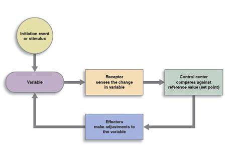 feedback loops anatomy  physiology