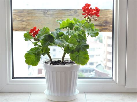 geranium indoors how to grow geraniums indoors 9 steps with pictures wikihow