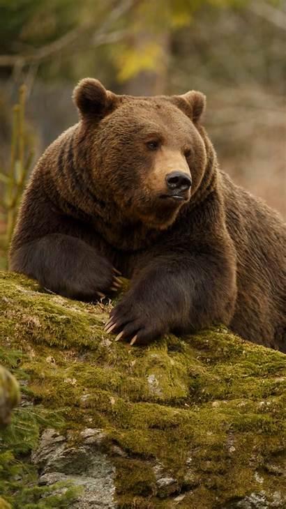 Bear Oso Negro Animals App Iphone Wood