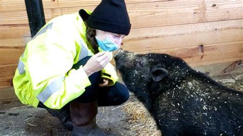 Hugo has a home: SPCA's first adoption of 2021 is a pig ...