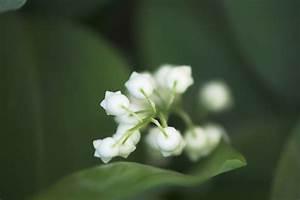 Comment Planter Du Muguet : planter du muguet comment cultiver le muguet ~ Melissatoandfro.com Idées de Décoration