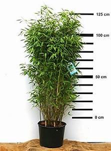 Säulen Pflanzen Winterhart : 25 best ideas about bambus winterhart on pinterest gr ser schilf and sichtschutz pflanzen ~ Frokenaadalensverden.com Haus und Dekorationen