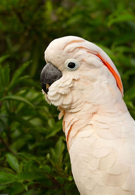moluccan cockatoo moluccan cockatoo facts pet care behavior price pictures singing wings aviary