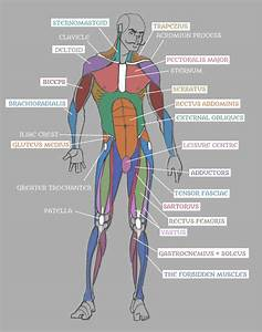 Human Anatomy  Muscles With Labels  By Pseudolonewolf On