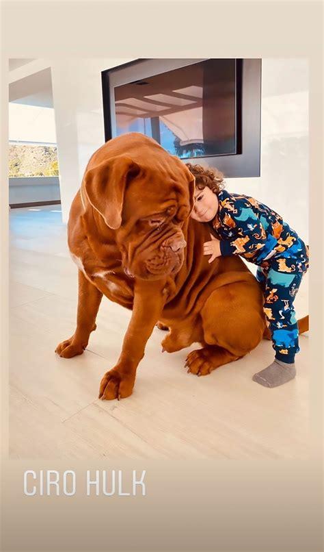 messi yo laying  top   aptly named dog hulk viraltab