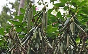 Hortensien Blätter Werden Braun Frost : rhododendron eingerollte bl tter bei frost mein sch ner ~ Lizthompson.info Haus und Dekorationen