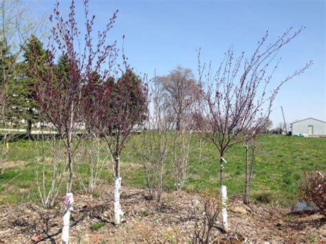 purple leaf plum tree for sale purple leaf plum trees hoosier home garden