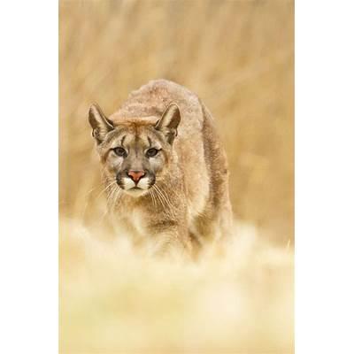Puma Concolor || Marketa Myskovabeautiful things