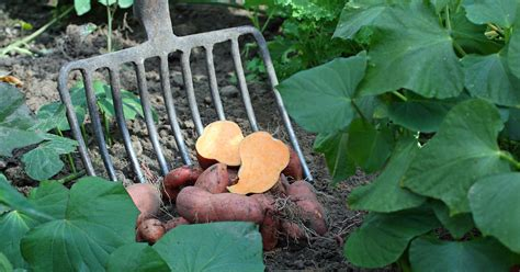 suesskartoffeln pflanzen pflegen ernten mein schoener garten
