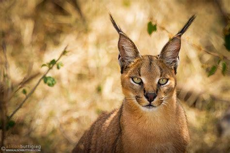 caracals  servals alison buttigieg wildlife photography