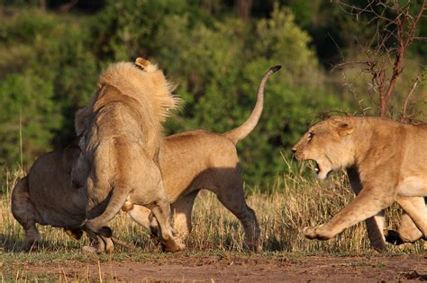 epic fight  lion lioness world picture news