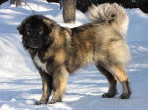 caucasian shepherd dogs champdogs