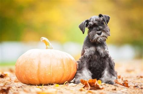 cutest schnauzer dog haircuts  love