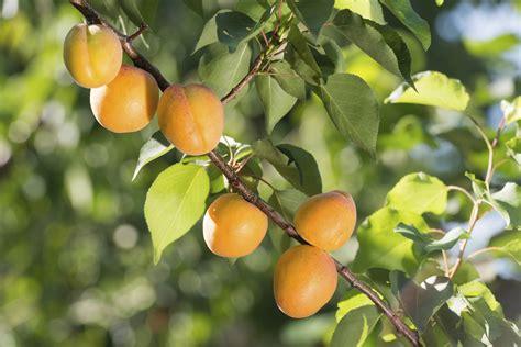 aprikosenbaum pflanzen tipps zum vorgehen nutzpflanzen