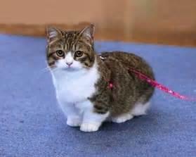munchkin cat munchkin cat breeds cats types