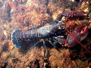 This is a list of decapod crustaceans found in the North ...