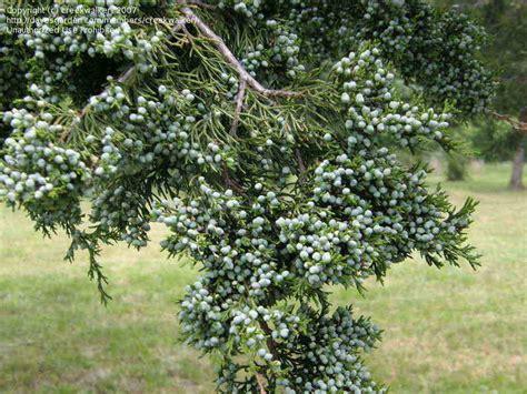 cedar juniper eastern juniperus virginiana tree bark aromatic species virginia creekwalker davesgarden