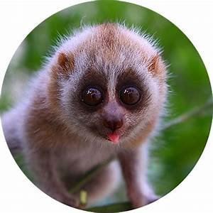 17 Best ideas about Slow Loris on Pinterest