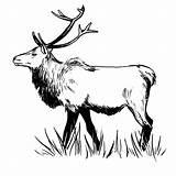 Elk Zentangle Template Pages Printable Drawings Sketch Deer Step American Templates sketch template
