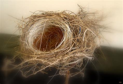 nest with birds pictures white hair in our bird s nest new england s narrow road