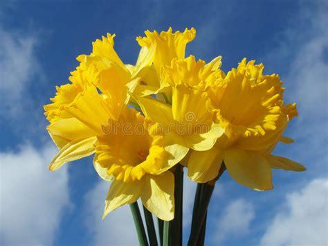 Yellow Easter Daffodil Stock Photo. Image Of Close, Macro