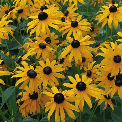 rudbeckia goldsturm white flower farm