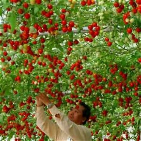 Rare Climbing Cherry Tomato 20 Seeds Really Climbs Needs