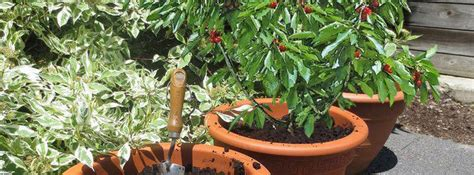 arbres fruitiers en pot cultiver un arbre fruitier en pot