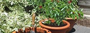 Planter Un Cerisier : cultiver un arbre fruitier en pot ~ Melissatoandfro.com Idées de Décoration