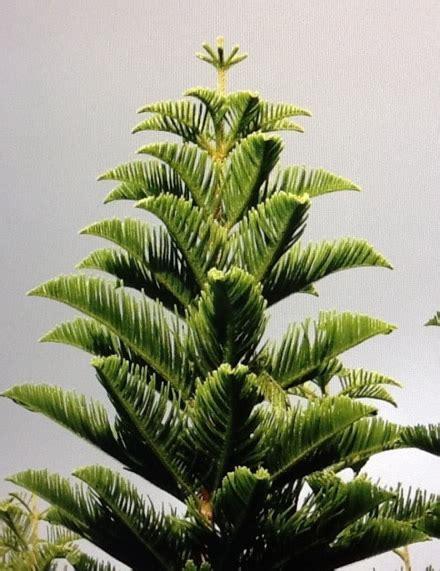 christmas  hawaii christmas tree farm  wahiawa