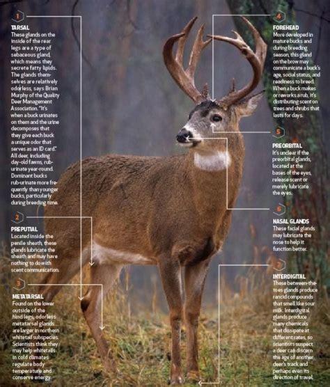 Buck Deer Scent Glands