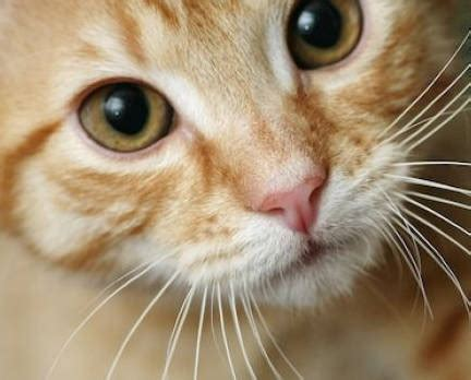 do cats shed their whiskers do cat whiskers grow back purrfect