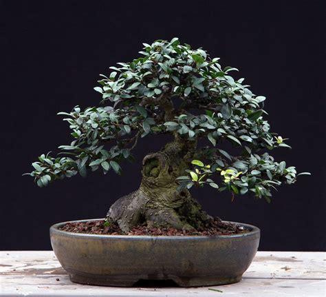 taille si鑒e auto les mini bonsaïs appelés aussi shohin et mame ebonsai be