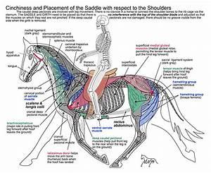 Saddle Placement  U2013 Dynamic Equine Saddle Fitting