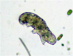 Tardigrade Under Microscope | www.pixshark.com - Images ...