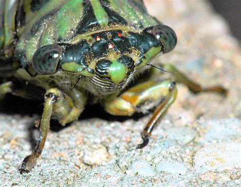 Call of the wild: Cicadas have emerged from 17-year ...