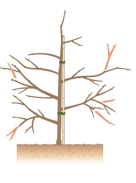 apfelbaum schneiden anleitung schneiden top himbeeren schneiden und ernten with